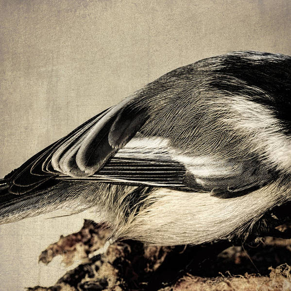 Photograph - Chickadee Feathers by Fred Denner