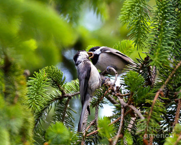 Chickadee Feeding Time Art Print