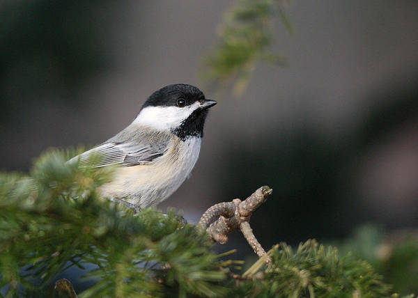 Chickadees Photograph - Chickadee In Balsam Tree by Susan Capuano
