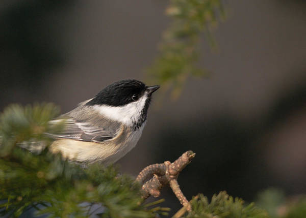 Chickadees Photograph - Chickadee In The Shadows by Susan Capuano