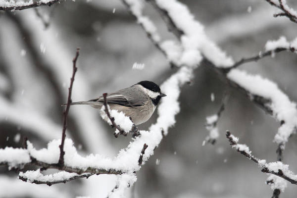 Photograph - Chickadee In The Snow by Trina Ansel