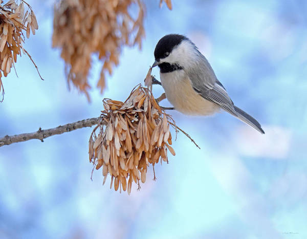 Photograph - Buffet For A Chickadee by Judi Dressler