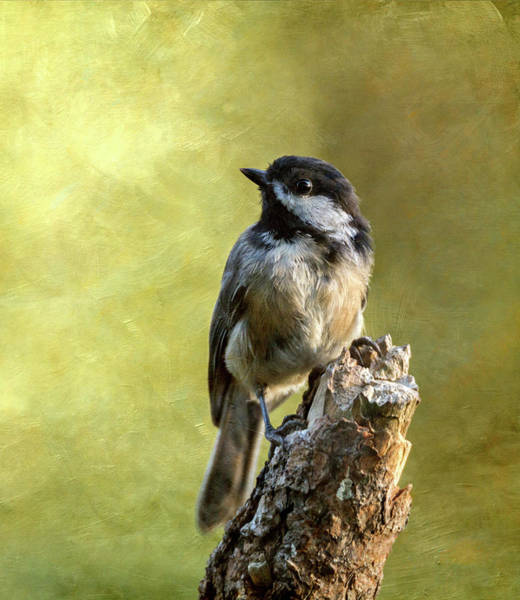 Wall Art - Photograph - Chickadee Portrait by Angie Vogel