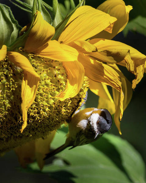 Photograph - Chickadee Sunflower by Bill Wakeley
