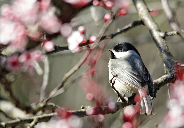Photograph - Chickadee by Trina Ansel