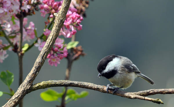 Wall Art - Photograph - Chickadee With Lilac Background by Laura Mountainspring