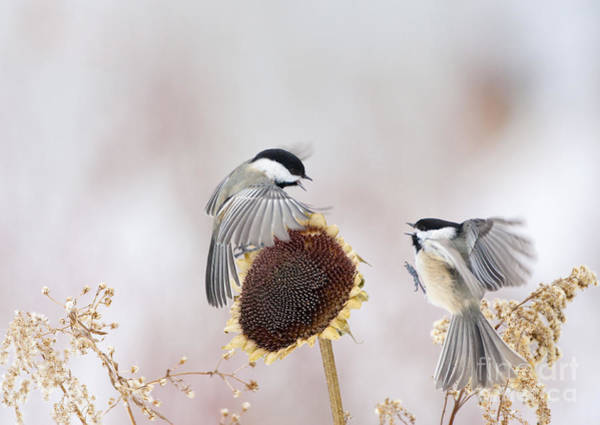 Photograph - Chickadees by Marie Read