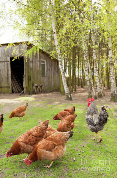 Wall Art - Photograph - Chickens Cropping Grass In Yard by Arletta Cwalina