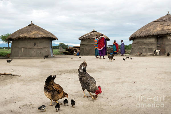 Photograph - Chickens In A Maasai Village In Tanzania by RicardMN Photography