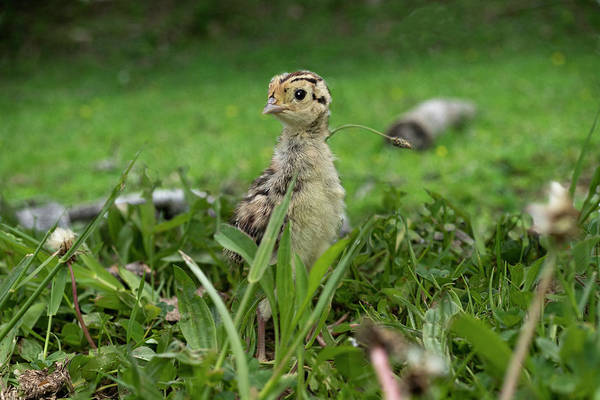 Photograph - Chicks In The Grass Looking  by Dan Friend