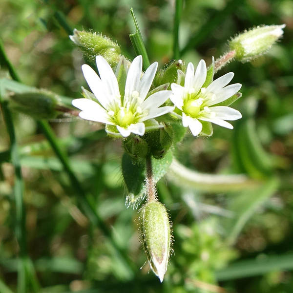 Photograph - Chickweed by Denise Beverly