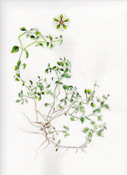 Wall Art - Painting - Chickweed Herb by Doris Blessington