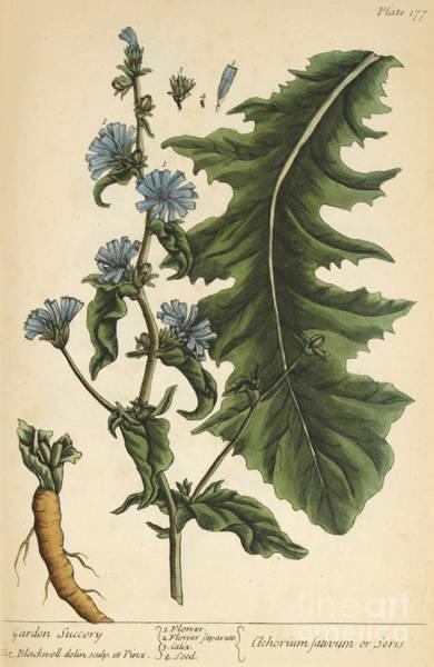 Chicory, Medicinal Plant, 1737 Art Print