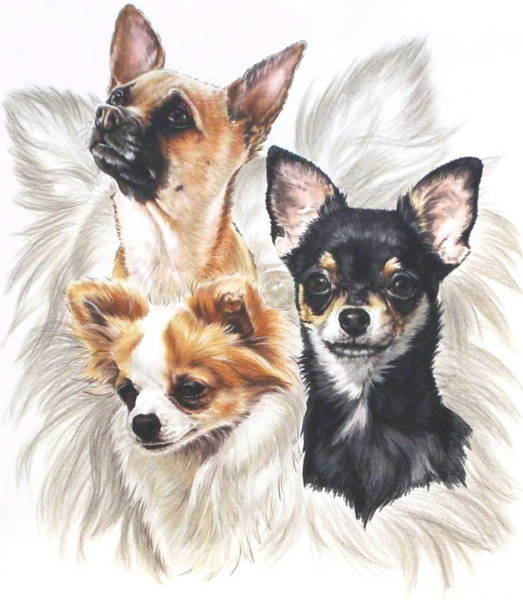 Drawing - Chihuahua Grouping by Barbara Keith