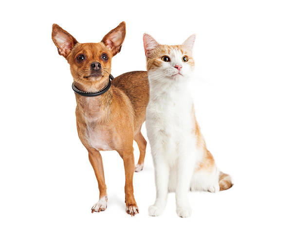 Wall Art - Photograph - Chihuahua Dog And Orange And White Cat Together by Susan Schmitz