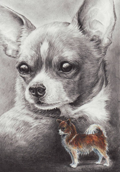 Drawing - Chihuahua by Laurie McGinley
