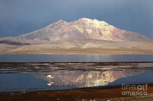 Photograph - Chilean Flamingo At Lake Chungara On A Stormy Afternoon by James Brunker