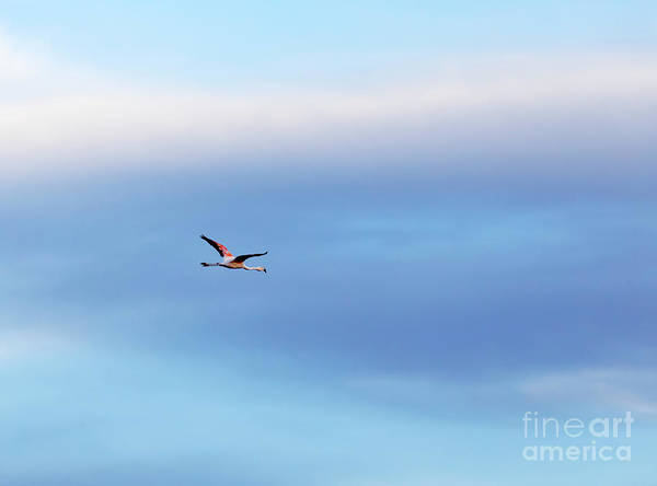 Wall Art - Photograph - Chilean Flamingo Phoenicopterus Chilensis In Flight by Louise Heusinkveld