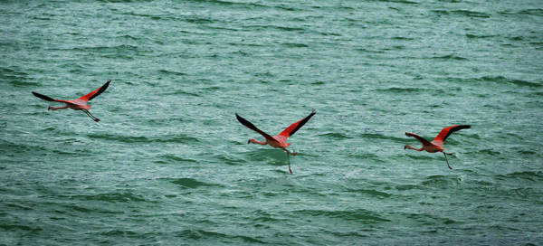 Photograph - Chilean Flamingos - Patagonia by Stuart Litoff