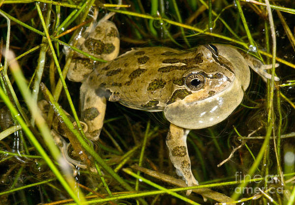 Gular Photograph - Chilean Four-eyed Frog by Dant� Fenolio