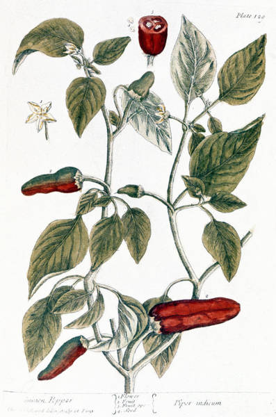 Photograph - Chili Pepper, 1735 by Granger