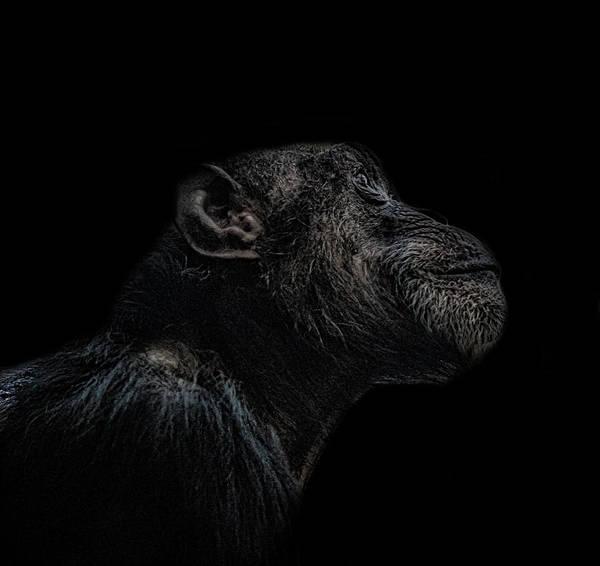 Intelligent Photograph - Chimp Thinking by Martin Newman