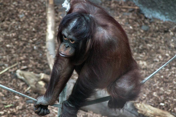 Photograph - Chimpanzee by Doc Braham