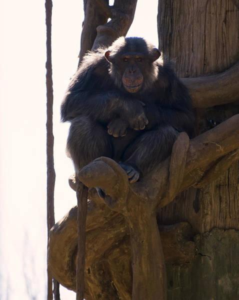 Digital Art - Chimpanzee In A Tree by Chris Flees