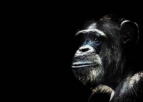 Wall Art - Photograph - Chimpanzee by Martin Newman
