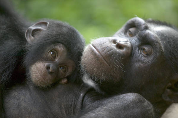 Nigeria Wall Art - Photograph - Chimpanzee Mother And Infant by Cyril Ruoso