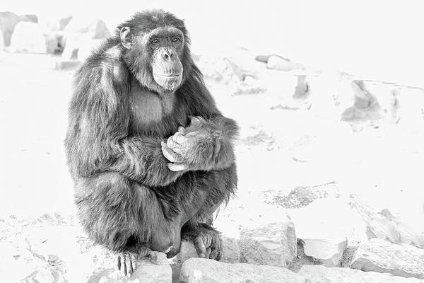 Wall Art - Photograph - Chimpanzee by Paul Fell