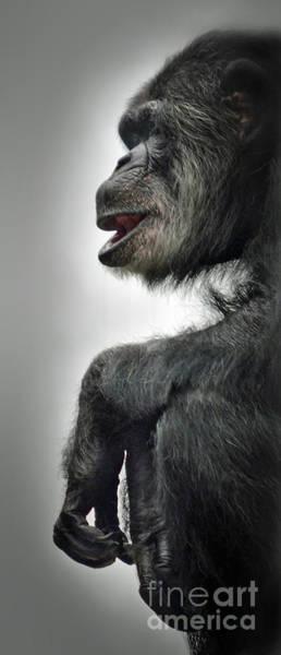 Wall Art - Photograph - Chimpanzee Profile Vignetee Effect by Jim Fitzpatrick