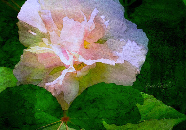 Wall Art - Digital Art - China Rose by James Temple