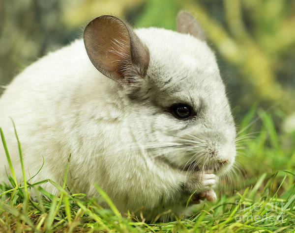 Photograph - Chinchilla by Michael D Miller
