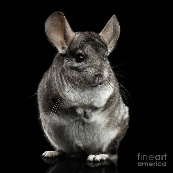 Wall Art - Photograph - Chinchilla On Black Background by Sergey Taran