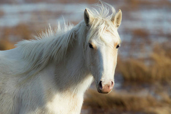 Chincoteague White Pony Art Print