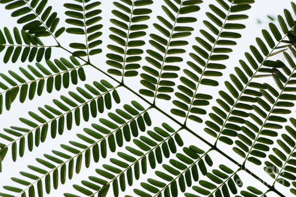 Wall Art - Photograph - Chinese Albizia Leaf Pattern by Tim Gainey