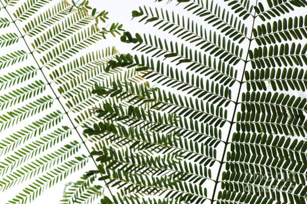 Wall Art - Photograph - Chinese Albizia Leaves by Tim Gainey