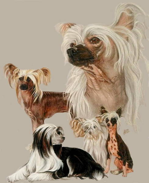 Drawing - Chinese Crested by Barbara Keith