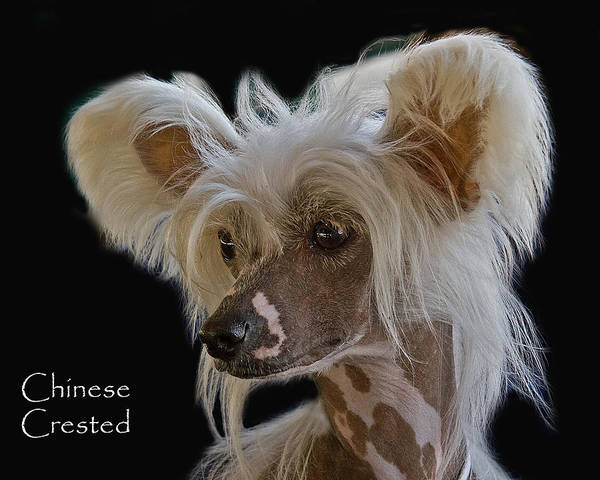 Photograph - Chinese Crested by Larry Linton