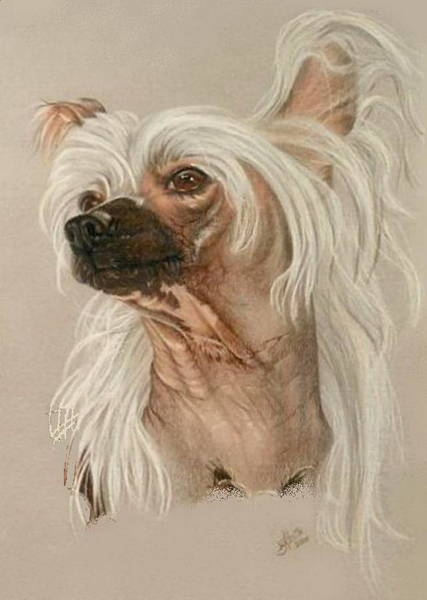 Drawing - Chinese Crested In Colored Pencil by Barbara Keith