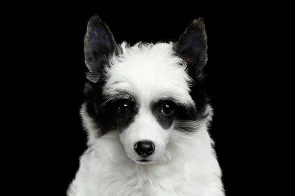 Photograph - Chinese Crested Puppy by Sergey Taran