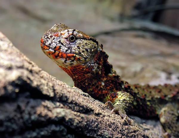 Nfs Photograph - Chinese Crocodile Lizard by Daniel Caracappa