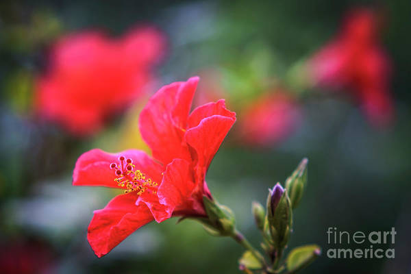 Photograph - Chinese Hibiscus Genoves Park Cadiz Spain by Pablo Avanzini