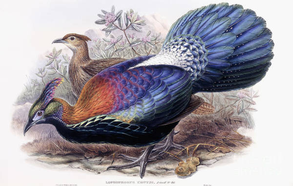 Wall Art - Painting - Chinese Monal, Pheasant by English School