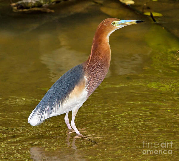 Wall Art - Photograph - Chinese Pond Heron by Louise Heusinkveld