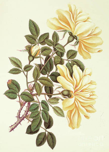 Wall Art - Painting - Chinese Rose by Georg Dionysius Ehret