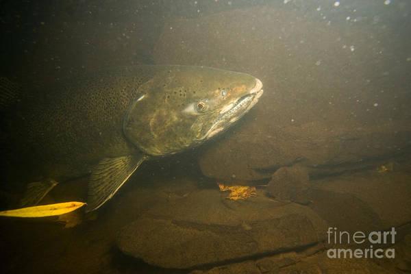 Chinook Salmon Photograph - Chinook Salmon In Lake Ontario by Ted Kinsman