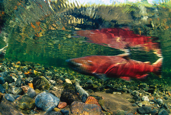 Chinook Salmon Photograph - Chinook Salmon Swimming Up Spawning by Michael S. Quinton