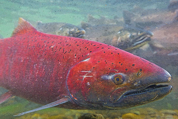 Chinook Salmon Photograph - Chinook Salmon Up Close- Abstract by Tim Grams